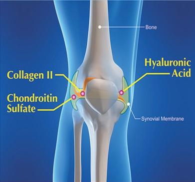 các thành phần quan trọng trong cấu tạo của các khớp xương