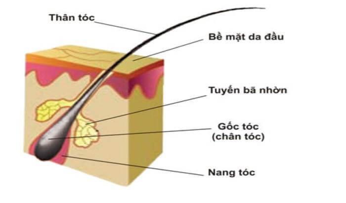 Các bộ phận cấu tạo nên sợi tóc