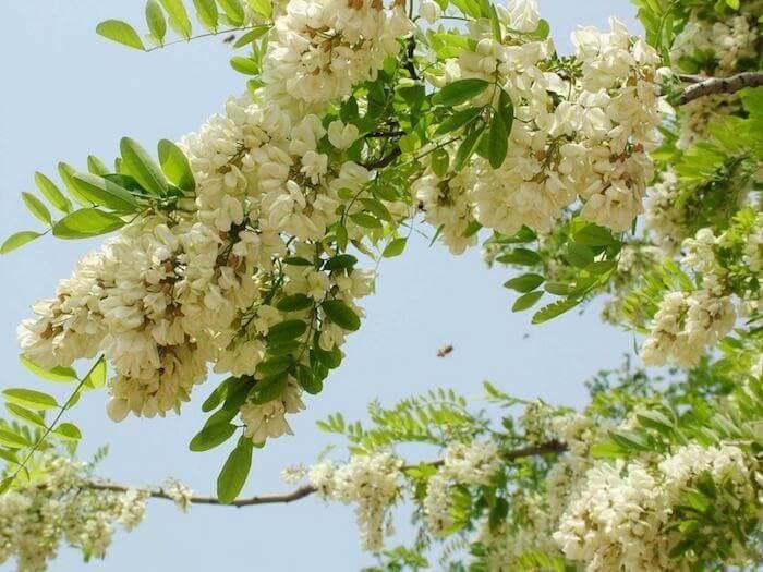Hoa hòe có nhiều công dụng đối với sức khỏe