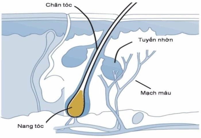 Vị trí của chân tóc trong cơ thể