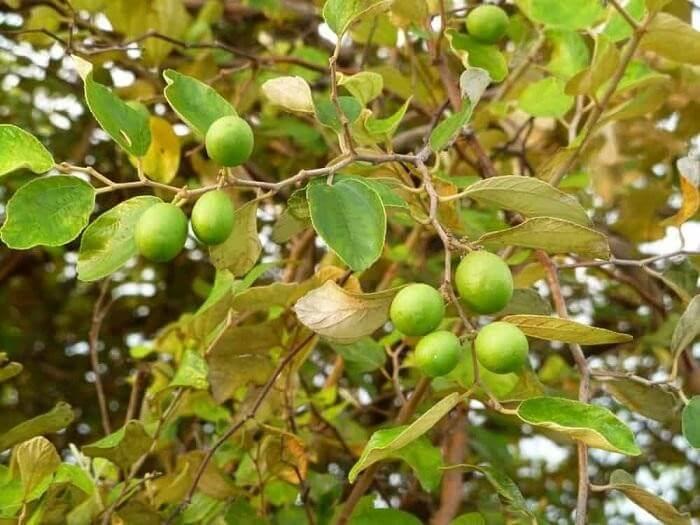 Cây táo nhân được trồng phổ biến ở nhiều nơi