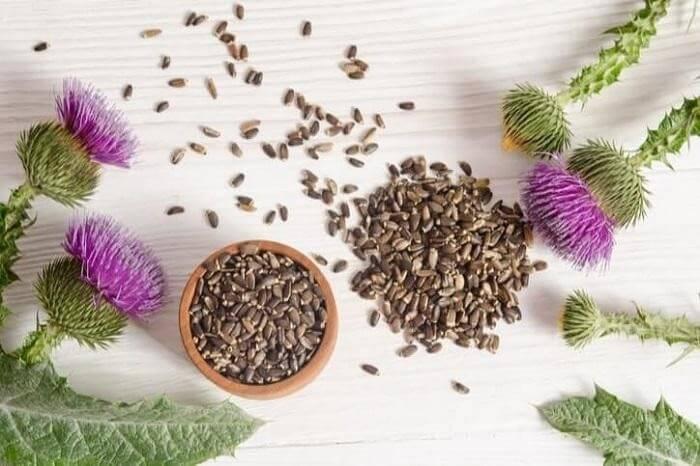 Hạt cây Kế sữa được dùng phổ biến trong việc điều trị bệnh