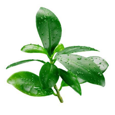 Thành phần chiết xuất lá chanh lim thơm có trong serum mụn Oriss